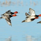 Good waterfowl opener expected this weekend