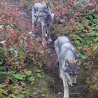 Wolves reintroduced on Isle Royale are starting to settle in