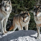 Minnesota DNR statement  Wolves