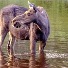 Michigan legislators propose moose hunting on Isle Royale