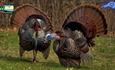 Bonus Harvest Authorizations For Spring Turkey Season Available