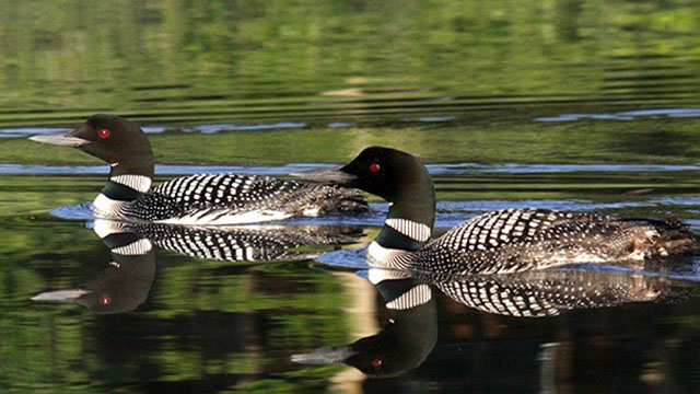 Volunteers needed DNR loon survey