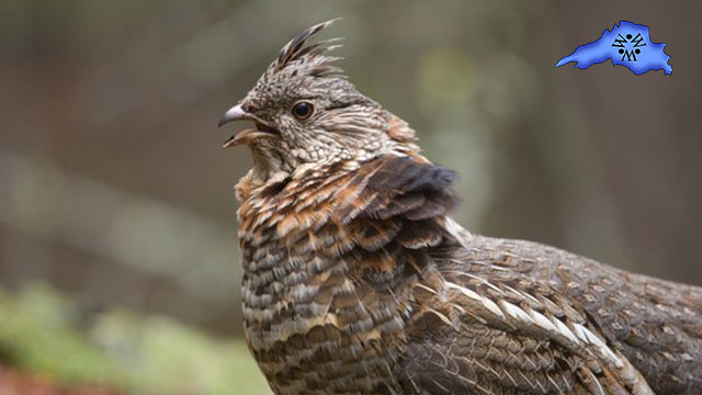 Ruffed Grouse West Nile Virus Test Results