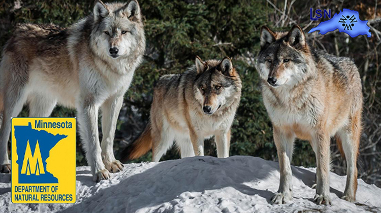 Wolf conservation continues to be a DNR priority
