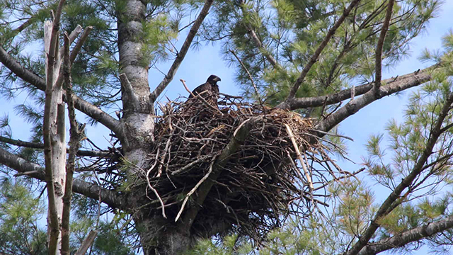 Study: Bald eagle recovery in Voyageurs National Park