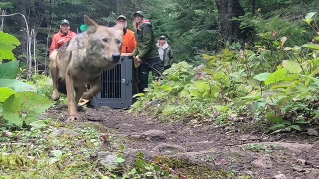Wolves transplanted to Isle Royale