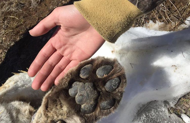 Cougar DNA    Lake Superior News