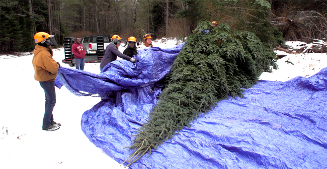 Governor's Residence Christmas tree harvested  from Nemadji State Forest   Lake Superior News