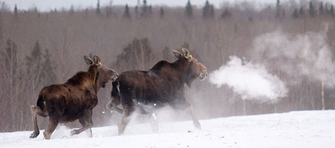 Moose North Eastern Minnesota  Lake Superior News