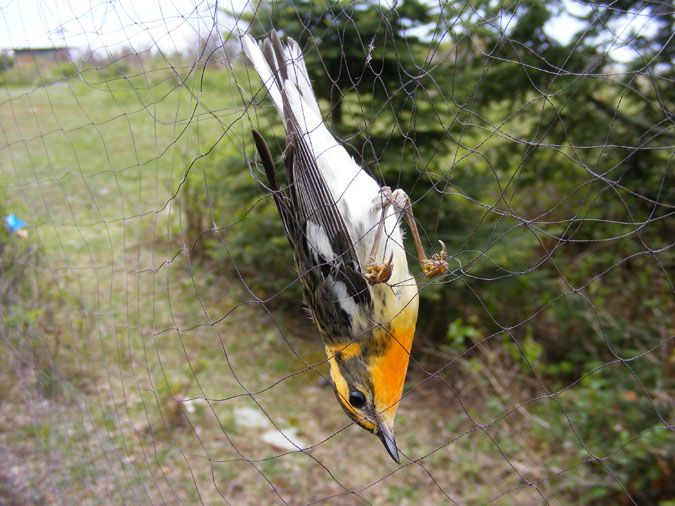 Blackburnian Warbler in a mist-net Blackburnian Warbler in a mist-net  Lake Superior News