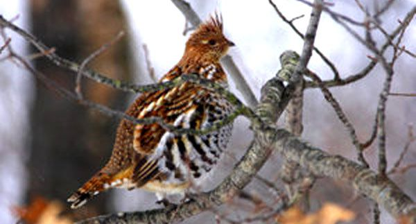 West Nile virus monitoring in ruffed grouse Lake Superior News