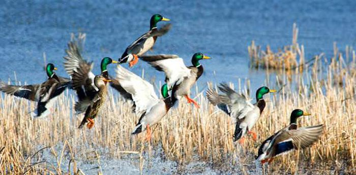 Minnesota Waterfowl Symposium